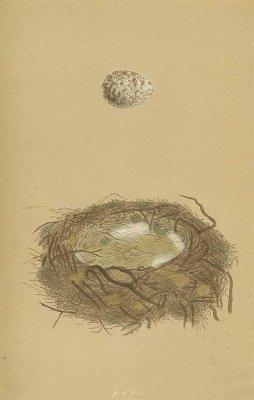 鳥の巣と卵 図版「great shrike」/イギリス1853年