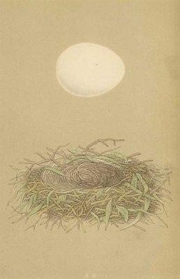 鳥の巣と卵 図版「marsh harrier」/イギリス1853年