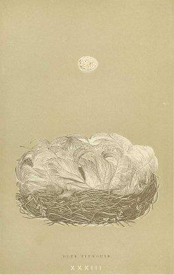 鳥の巣と卵 図版「BLUE TITMOUSE」/イギリス1896年