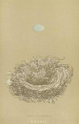 鳥の巣と卵 図版「PIED FLYCATCHER」/イギリス1896年