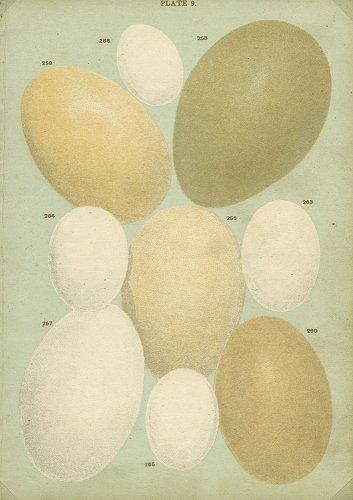 鳥の卵の図版/イギリス1912年