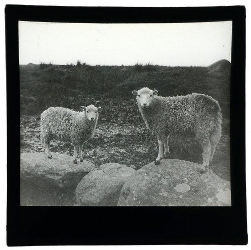 羊のガラススライド
