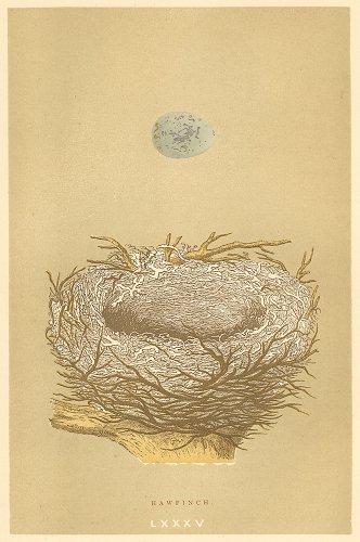 鳥の巣と卵の図版/イギリス1896年