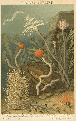 海洋生物の図版/ドイツ1895年頃