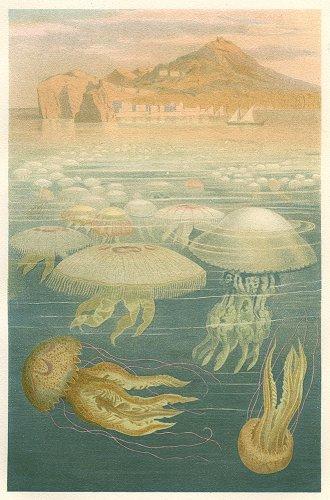 海洋生物の図版/ドイツ1890年頃