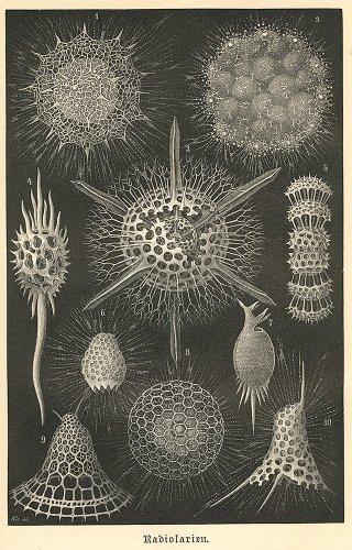 海洋生物の図版/ドイツ1887年頃