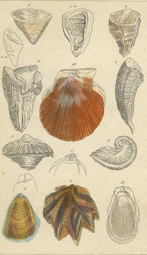 貝の図版/イギリス1838年