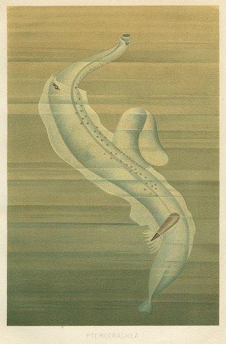 海洋生物の図版/ドイツ1900年頃