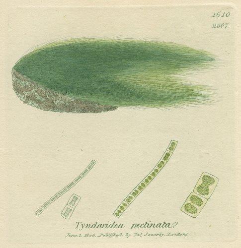 植物の図版/イギリス1806年