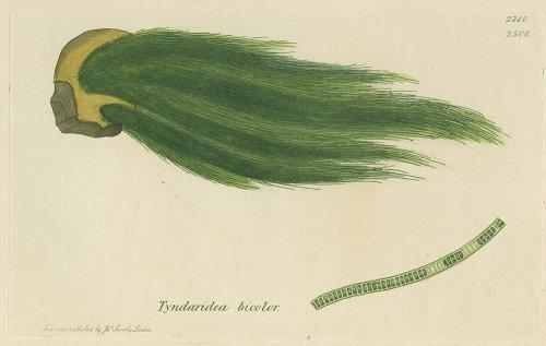 植物の図版/イギリス1811年