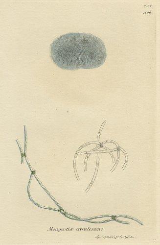 植物の図版/イギリス1812年