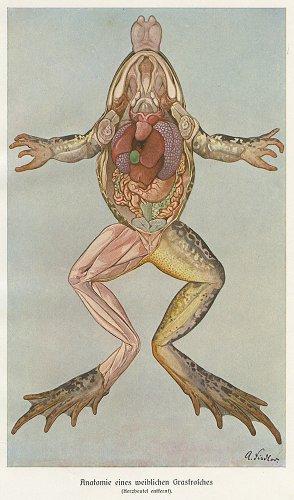 カエルの図版/ドイツ・1900年頃