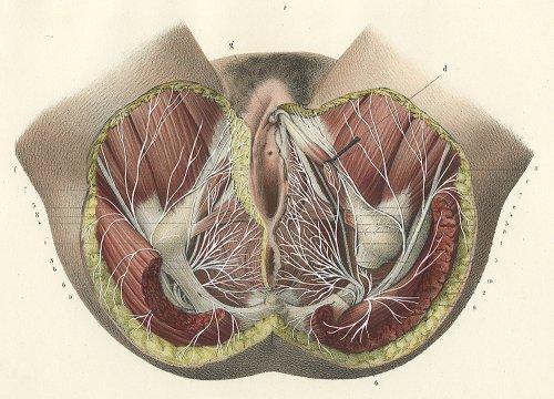 解剖学の図版/フランス・1853年