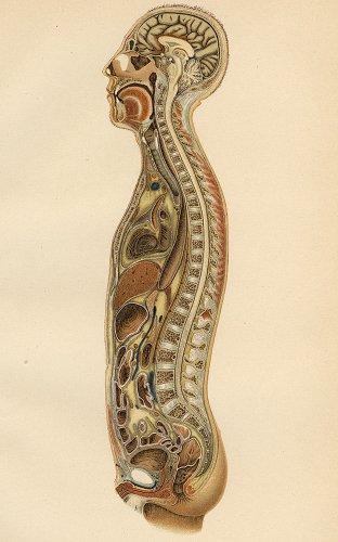 解剖学の図版/ドイツ・1900年頃