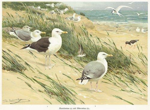 鳥の図版/ドイツ1900年前後