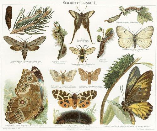 昆虫の図版/ドイツ1900年前後