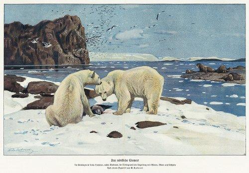 白熊の図版/ドイツ1900年前後