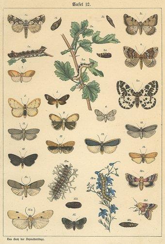 昆虫の図版/ドイツ1900年頃