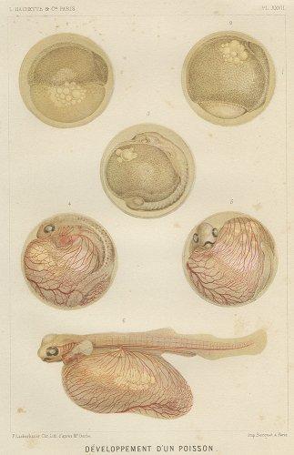 魚の卵の図版/フランス