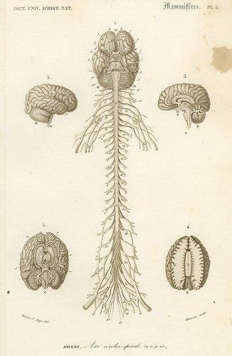脳髄の図版/フランス