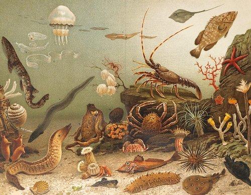 海の生物の図版/ドイツ・1890年頃