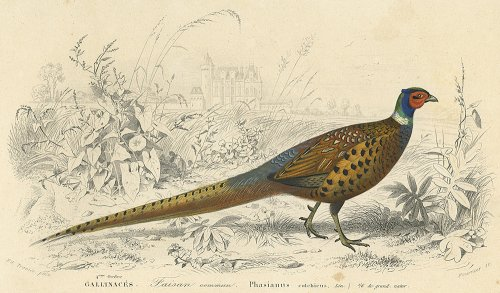 鳥の図版/フランス1849年