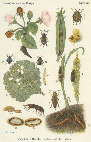 昆虫の図版(ドイツ1900年頃)