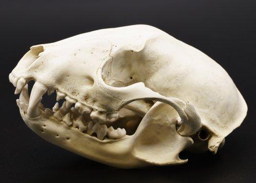 浣熊(あらいぐま)-Procyon lotor- 頭骨