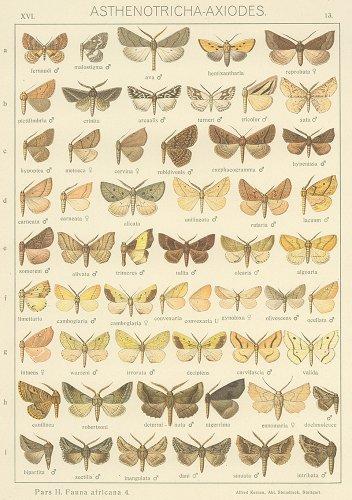 蝶と蛾の図版 (ドイツ1900年頃)