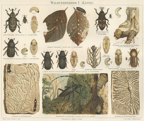昆虫の図版 (ドイツ1895年)