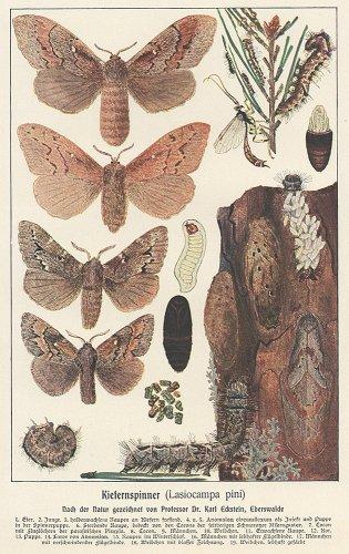 昆虫の図版 (ドイツ1900年頃)