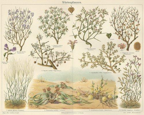 植物の図版 (ドイツ1895年)