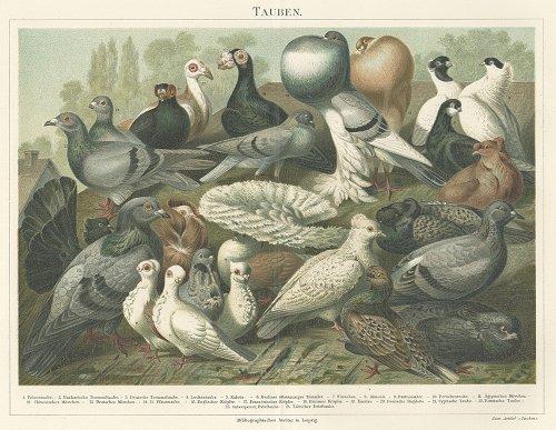 鳥の図版 (ドイツ1895年)