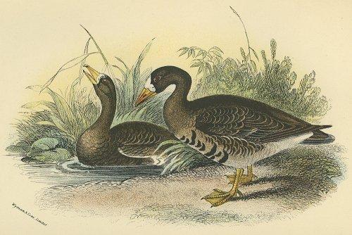 鳥の図版 (イギリス1896)