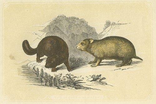 動物の図版 (イギリス1851-60)