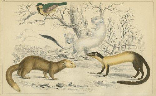 動物の図版 (イギリス1855)
