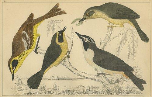 鳥の図版 (イギリス1855)
