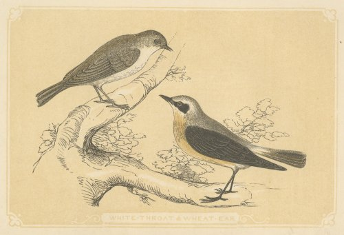 鳥の図版 (イギリス1851-60)