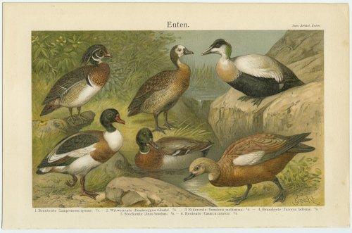 鳥の図版(ドイツ1895年頃)