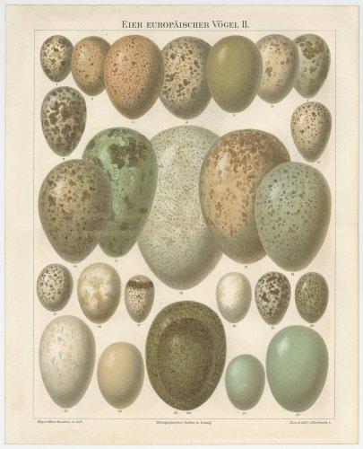 卵の図版(ドイツ1895年頃)