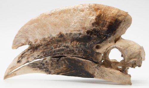 モモジロサイチョウの頭骨標本