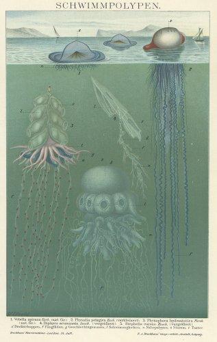 くらげの図版(ドイツ1895年頃)