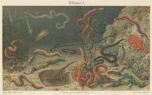 海の生物の図版(ドイツ1895年頃)