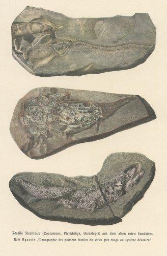 魚の化石の図版(ドイツ1900年頃)