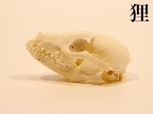狸 頭骨/スカルフィリア