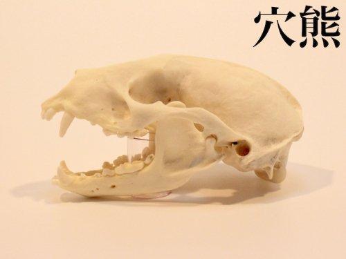 穴熊 頭骨/スカルフィリア