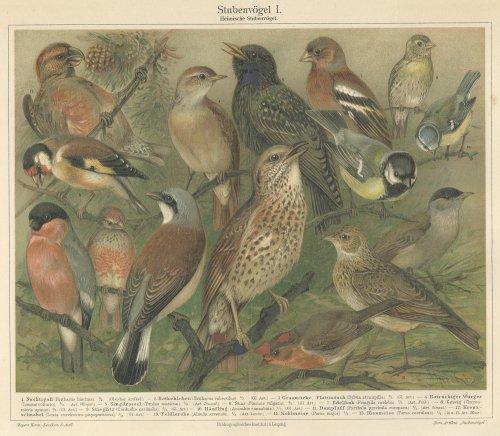 博物図版「鳥」(ドイツ 1895年)