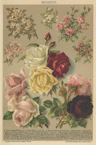 博物図版「バラ」(ドイツ 1895年)