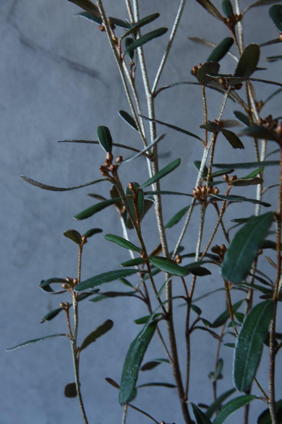 フェバリウム キリンの木