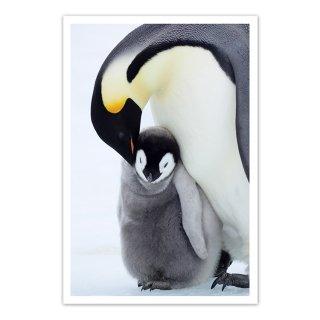 ポストカード 南極1〜コウテイペンギンの親子
